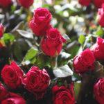 Nejčastější chyby při pěstování růží